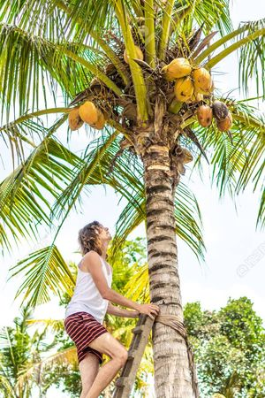 SANOJ, COCONUT PLUCKING,  service in Chemmad, Malappuram