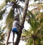 LABOURS, COCONUT PLUCKING in Kerala